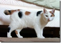 Manx_breed_cat_named_Inkku