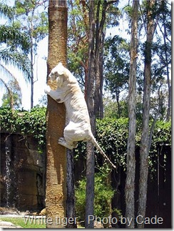 white tiger climbing a tree
