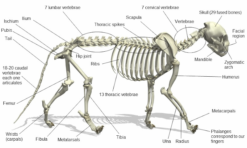 Cat Anatomy Facts For ...