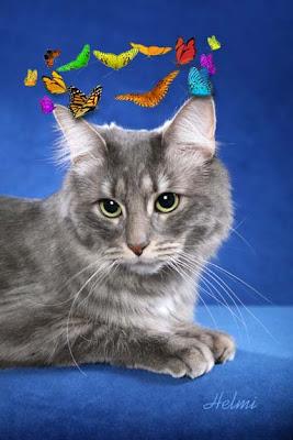 maine coon mix cat