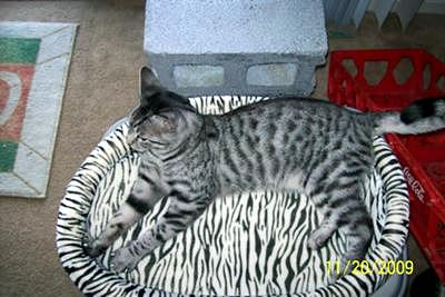 possible Egyptian Mau cat