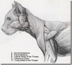 neck and shoulder muscles of a cat