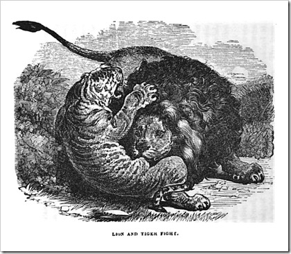 lion vs tiger fighting engraving