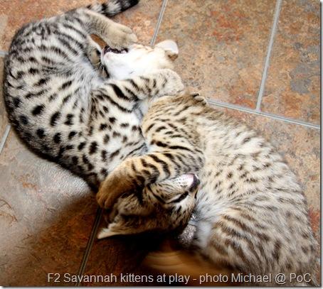 F2 Savannah kittens at play
