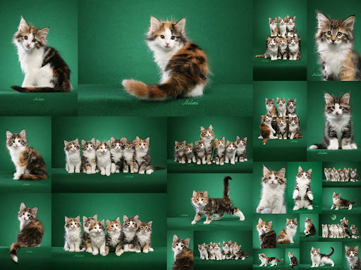 There are some Norwegian Forest Cat breeders available who may be willing to