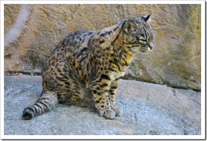 geoffroys-cat