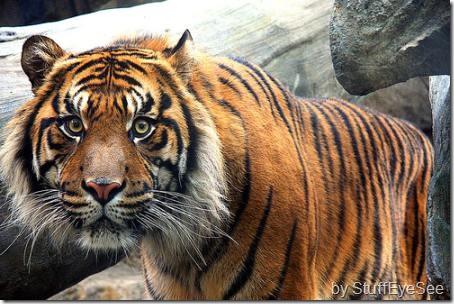 sumatran-tiger-3