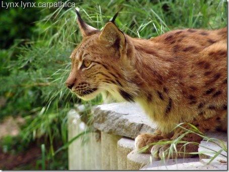 lynx-lynx-lynx-subspecies