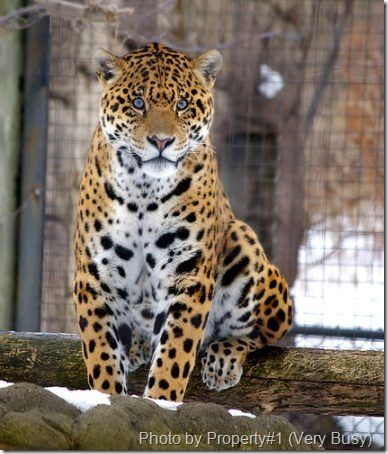 jaguar-cat