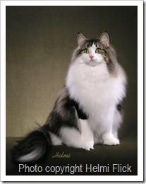 Norwegian Forest Cat Venus