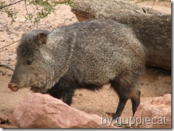collared peccary