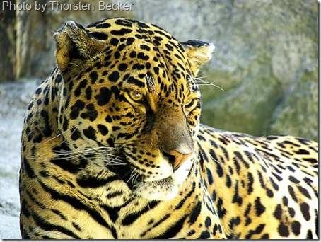 captive jaguar
