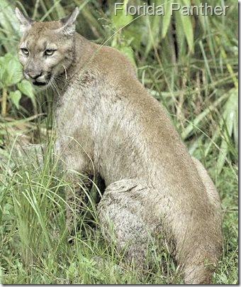 Florida-Cougar