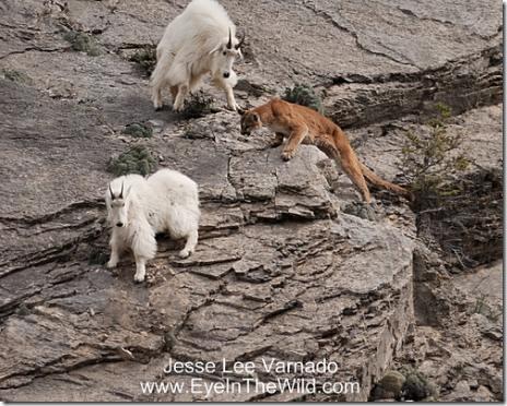 http://lh4.ggpht.com/_LlfXWxcpJyU/SkiWF2xYLJI/AAAAAAAAM2Y/WQkYwmBiXds/mountainlionattack_thumb1.jpg
