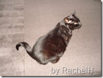 curly tail cat