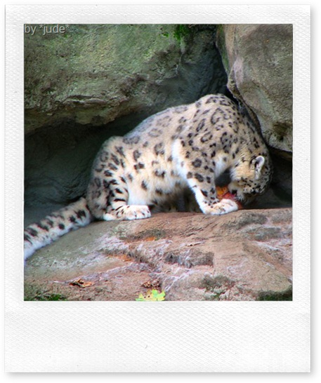 snow leopard body 2