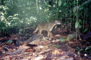 Bornean Bay cat photographed by a camera trap in a wildlife sanctuary