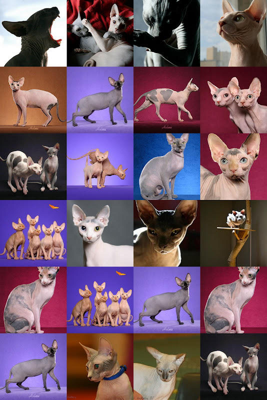 Sphynx cat collage