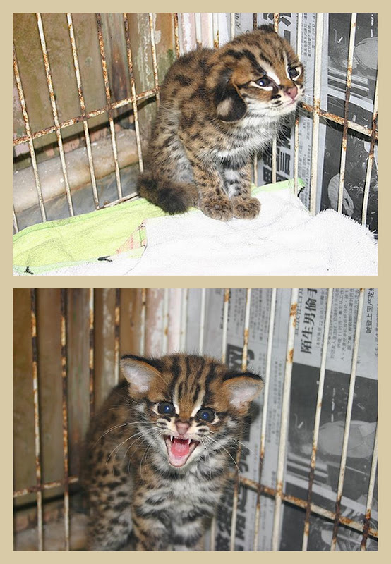 Frightened asian leopard cat kitten in a collage