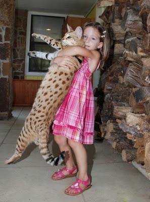 dengan wildcat afrika dan merupakan jenis kucing yang p