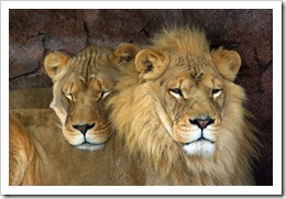 lion pictures toronto zoo ontario two lions cuddle photo by Property#1