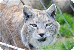 iberian lynx cat