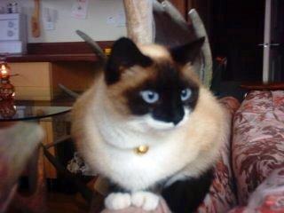 par Siamese cat
