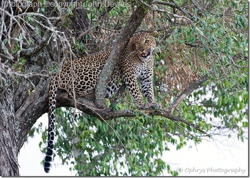 leopard picture of leopard in a tree snarling
