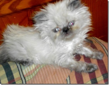 Dwarf Miniature Blue Himalayan cat Baby Face Finster