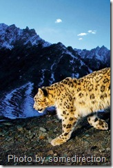 snow leopard in the sun against a cold mountainous background