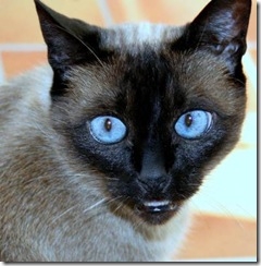 Traditional Siamese cat Juergen Kurlvink