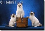 birman kittens picture