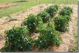 Homestead Tomatoes