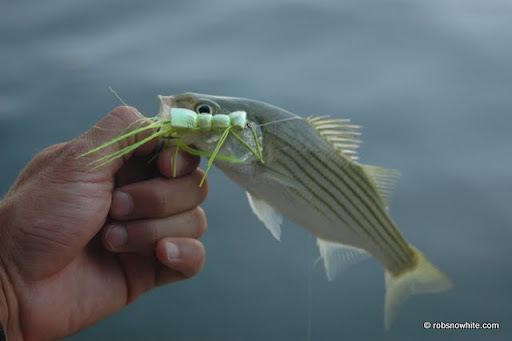 striped bass, tidal basin, washington d.c.
