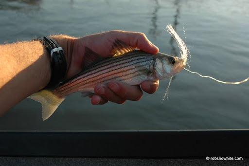striped bass, gravelly point
