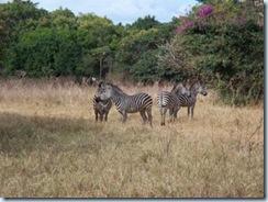 Eureka Farm Zebra Comp