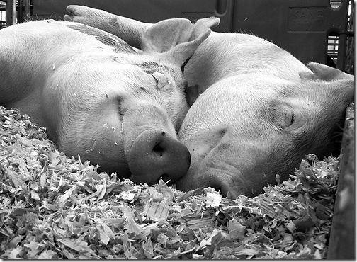 Busco Imágenes: Imágenes y Gifs animados de cerdos