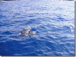 ハワイ島・ドルフィンスイム