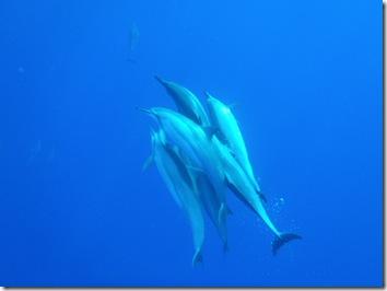 ハワイ島・イルカ・ドルフィンスイム
