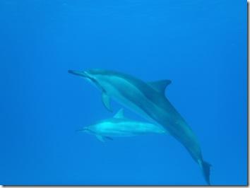 ハワイ島・イルカ・ドルフィン