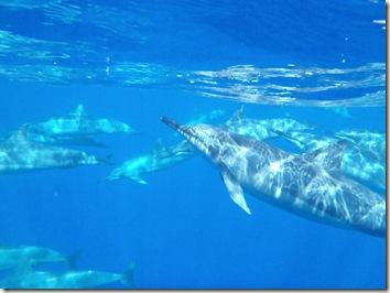 イルカ・ドルフィン・ハワイ島