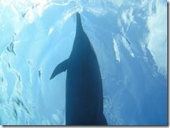 ハワイでイルカと泳ごう