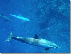 イルカと泳ぐツアーはハワイ島