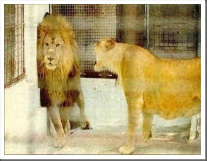 pms_lion-119614