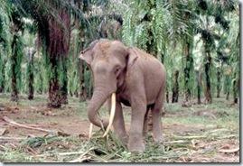 Éléphant de Sumatra