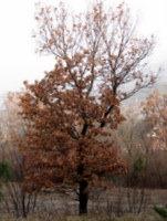 Hrastovo listje kljubuje zimi
