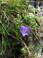Cvet zvončice