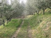 Drevored oljk