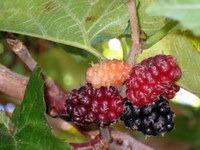 Plodovi ene redkih murv v vasi