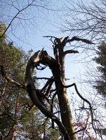 Ostanki drevesa po udarcu strele
